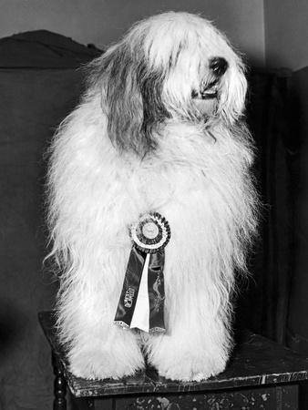 https://imgc.artprintimages.com/img/print/champion-sheepdog-new-york-new-york-february-1947-b-w-photo_u-l-q1gvz010.jpg?p=0