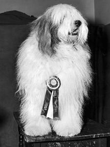 Champion Sheepdog, New York, New York, February, 1947 (b/w photo)