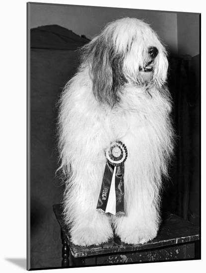 Champion Sheepdog, New York, New York, February, 1947 (b/w photo)--Mounted Photographic Print