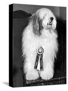 Champion Sheepdog, New York, New York, February, 1947 (b/w photo)
