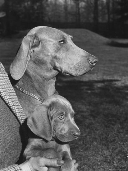 Champion Weimaraner and her 8-week-old male puppy with proud owner Mrs. Harold Goldsmith.-Bernard Hoffman-Photographic Print