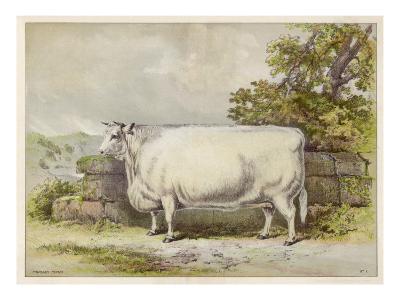 Champion White Shorthorn Heifer Exhibited at Smithfield December 1874--Giclee Print