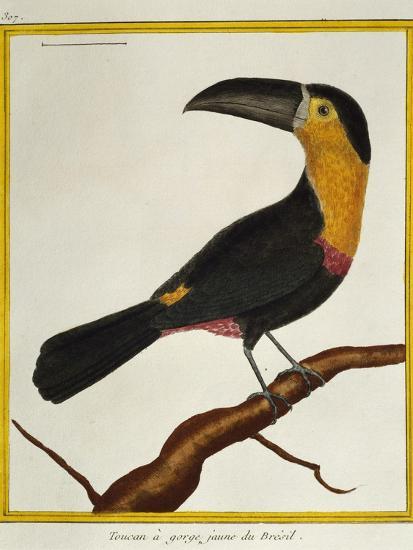 Channel-Billed Toucan (Ramphastos Vitellinus)--Giclee Print