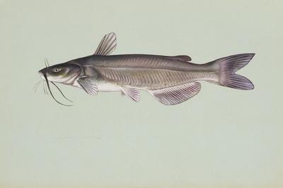 https://imgc.artprintimages.com/img/print/channel-catfish_u-l-pnn1z40.jpg?p=0