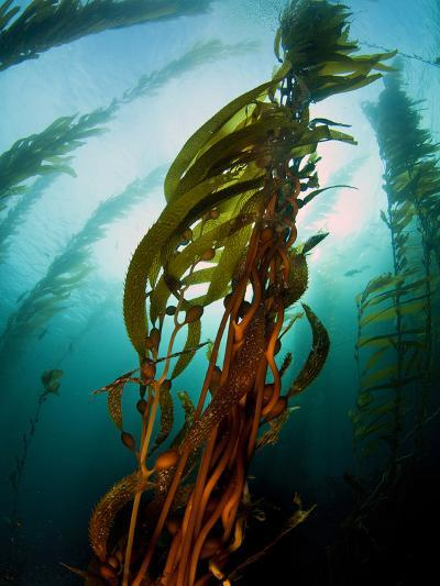 Channel Islands National Park, California: the View Underwater Off Anacapa Island of a Kelp Forest-Ian Shive-Photographic Print