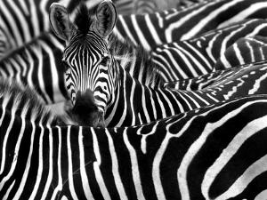 Close up from a Zebra Surrounded with Black and White Stripes in His Herd by Chantal de Bruijne