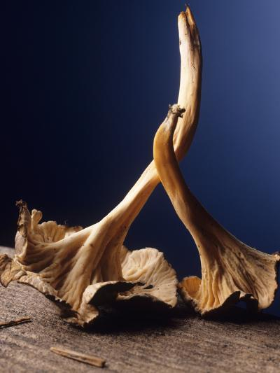 Chanterelle Mushrooms-Veronique Leplat-Photographic Print