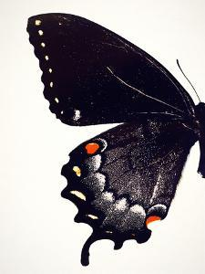 Black Swallowtail I by Chaos & Wonder Design