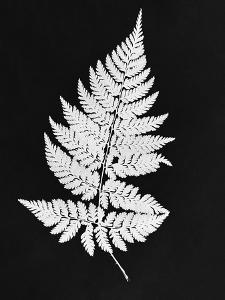 White Fern I MASTER LAYER by Chaos & Wonder Design