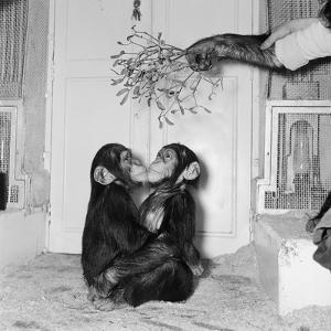 Chimpanzees of Bertram Mills Circus, 1955 by Chapman
