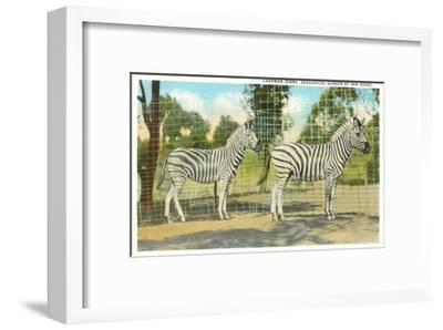 Chapman Zebras, San Diego Zoo