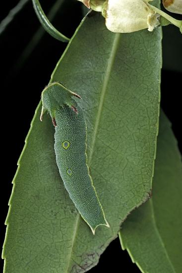 Charaxes Jasius (Two-Tailed Pasha) - Caterpillar on Strawberry Tree Leaf-Paul Starosta-Photographic Print
