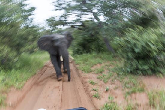 Charging African Elephant, Chobe National Park, Botswana-Paul Souders-Photographic Print