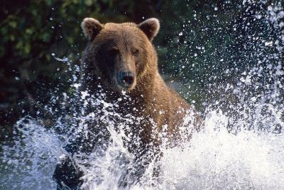 Charging Grizzly Splashing Through Water Shelikof Straight Katmai Nat Park Summer Southwest Alaska-Design Pics Inc-Photographic Print