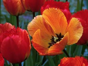 Flaming Parrot Tulips in Bloom by Charles Benes