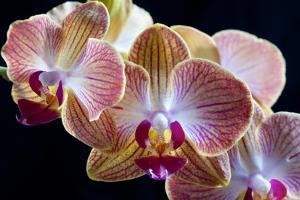 Amaryllis closeup by Charles Bowman