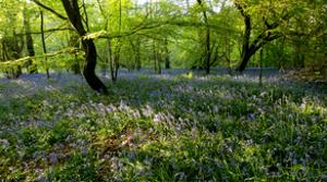 Bluebell forest by Charles Bowman
