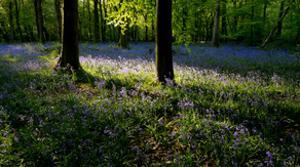 Bluebell wood scenic horizontal by Charles Bowman