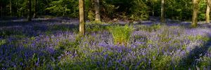Bluebell wood scenic panorama by Charles Bowman