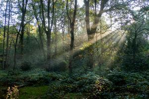 Forest Light 1 by Charles Bowman