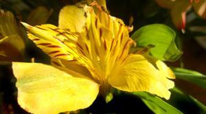 Iris Yellow by Charles Bowman