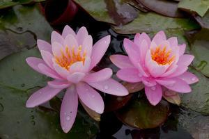 Lily pink by Charles Bowman