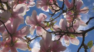 Magnolia flowers by Charles Bowman