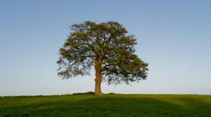 Oak tree by Charles Bowman
