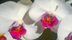 Orchid White by Charles Bowman