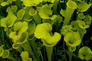Pitcher plant green carnivorous by Charles Bowman