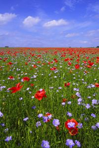 Poppy Field Uk by Charles Bowman