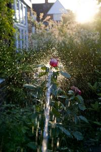 Rose being watered with backlight by Charles Bowman