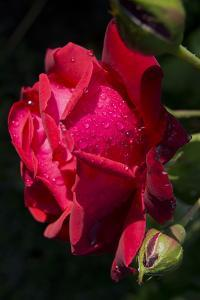 Rose Red 2 by Charles Bowman