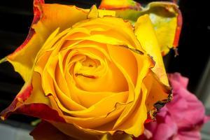 Rose Yellow 2 by Charles Bowman