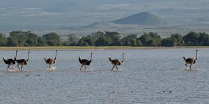 Six Ostriches Amboseli by Charles Bowman
