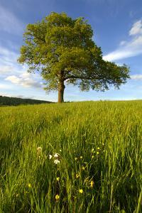 Solitary oak tree stands in field in Surrey by Charles Bowman