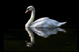 Swan by Charles Bowman