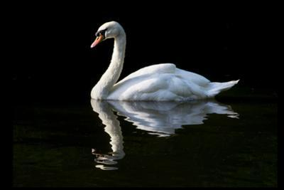 Swan by Charles Bowman