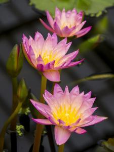 Waterlily Pink by Charles Bowman