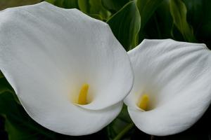 Zantedeschia Pair by Charles Bowman