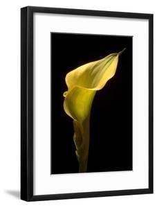 Zantedeschia Yellow III by Charles Bowman