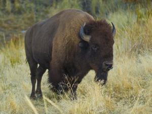 American Bison Buffalo, National Bison Range, Montana, USA by Charles Crust