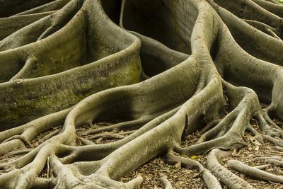 Buttress Roots of Large Evergreen Banyan Tree, Sarasota, Florida, USA