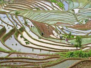 Native Yi People Plant Flooded Rice Terraces Near Laomeng Town, Jinping, Yunnan, China by Charles Crust