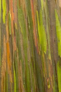 Philippines. Multicolored Bark of the Rainbow Eucalyptus Tree by Charles Crust