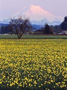 Rainier in Pink Twilight, Daffodil Field under Mt, Puyallup, Washington, Usa by Charles Crust