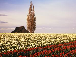 Tulip Field with Barn and Poplar Tree, Skagit Valley, Washington, USA by Charles Crust