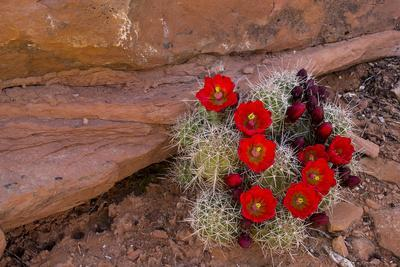 USA, Utah, Cedar Mesa. Red Flowers of Claret Cup Cactus in Bloom on Slickrock