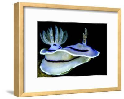 Blue Nudibranch, Glorious Sulawesi