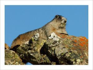 Marmot in Alaska by Charles Glover